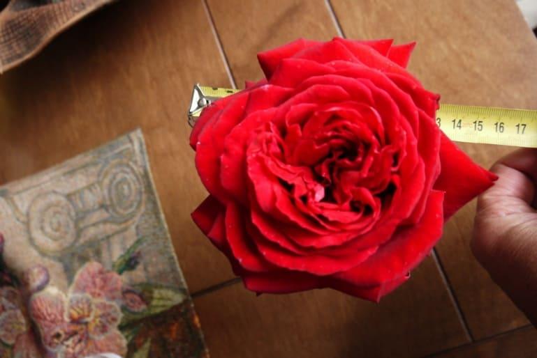"""Роза сорта """"Isabella Rossellini"""""""
